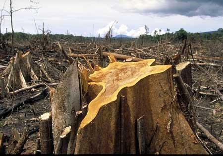 hutan gundul penebangan hutan liar